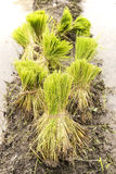 Young rice sprout ready to growing in the rice field. Royalty Free Stock Images
