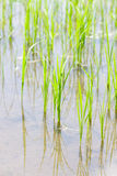 Young rice sprout   in the rice field Stock Photo