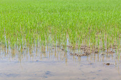 Young rice sprouts are growing in countryside farming, cultivati Royalty Free Stock Photo