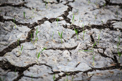 Young rice sprouts growth from cracked earth Royalty Free Stock Images