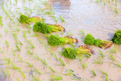 Young rice sprouts Stock Images