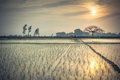 Young rice sprouts ready to growing in the rice field in Hanoi,. Vietnam. Organic paddy rice farmland at sunset. Terminalia catappa or tropical almond in Stock Photo