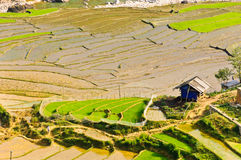 Young rice terraced fields Royalty Free Stock Photo