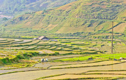 Young rice terraced fields Stock Images