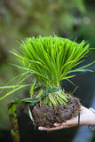 Young riceplant. Young and fresh green riceplant in a hand Stock Images
