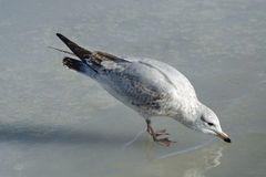 Young Ring-billed gull Royalty Free Stock Photography
