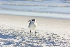 A young Ring-billed Gull (Larus delawarensis) Stock Photo