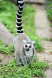 Young ring-tailed lemur Royalty Free Stock Images