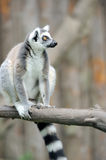 Young ring-tailed lemur Royalty Free Stock Photos