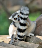 Lemur. Young ring-tailed lemur close-up Royalty Free Stock Photo