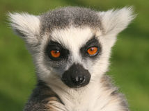 Young Ring Tail Lemur Face Royalty Free Stock Photo