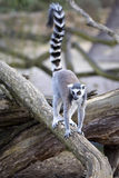 Young Ring-tailed Lemur, Lemur catta Stock Photography
