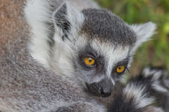 Young ring-tailed lemur sitting with mother Royalty Free Stock Photos