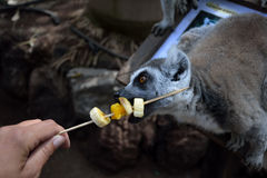 Young ring tailed lemur and woman's hand. Young ring tailed lemur eating fruits Stock Image