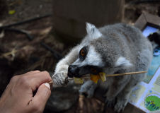 Young ring tailed lemur and woman's hand. Young ring tailed lemur eating fruits Royalty Free Stock Images