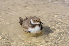 A young ringed plover with pleasure bathes Royalty Free Stock Image