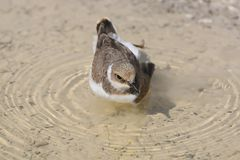 A young ringed plover  with pleasure bathes Royalty Free Stock Images