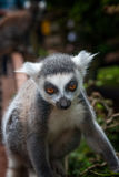 Young rintailed lemur. A young ringtailed lemur in the south lakes animal park england Stock Photography