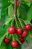 Young, ripe berries cherries ripen on the branch Stock Photos
