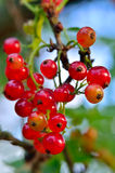 Young, ripe red currant berries ripen on the branch Stock Images
