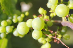 Young, Ripening Grapes Royalty Free Stock Photo