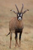 Young Roan Antelope stock images