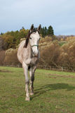 Young roan horse on pasture Royalty Free Stock Images