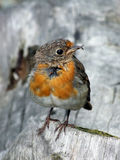 Young Robin. A young robin sitting on a log, ungroomed feathers. Perfect for a christmas card image Royalty Free Stock Photos