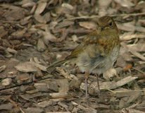 A young robin amoungst woodchips.  stock images