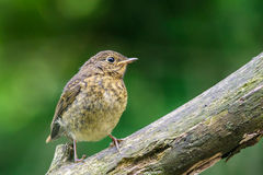 Young Robin on a branch Stock Photos