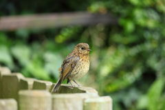Young robin chick. Stock Photo