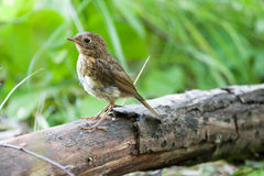 Young Robin (Erithacus rubecula).Wild bird in a natural habitat. Royalty Free Stock Images