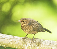 A young robin: just left the nest. Royalty Free Stock Photos
