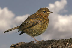 Young Robin Stock Photos