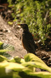 Young robin looking for food Royalty Free Stock Images