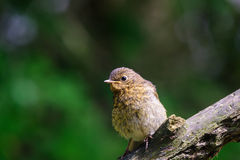 Young Robin Royalty Free Stock Photography
