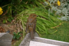 Young robin sat on arm of bench Royalty Free Stock Photography