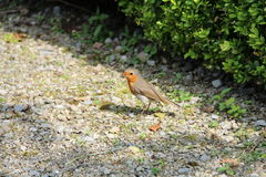 Young Robin searching for food. On a gravel path next to a hedge Royalty Free Stock Photo