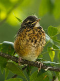 Young Robin Stock Photography