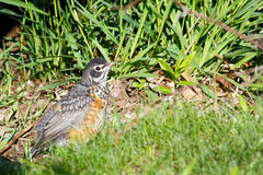 Young Robin Royalty Free Stock Image