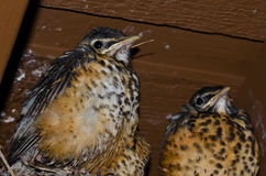 Young Robins in the Nest Stock Image