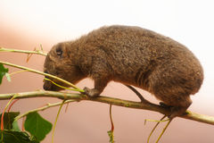 A Young Rock Hyrax Stock Photo