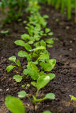 Young rockets in the garden. Rucola sprouts in the farmer's field, agriculture and healthy meal concept Stock Photo