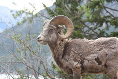 Young rocky mountain bighorn sheep Royalty Free Stock Photo