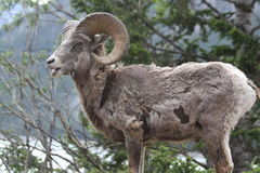 Young rocky mountain bighorn sheep Stock Images
