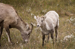 Young Rocky Mountain Bighorn Sheep Stock Photos