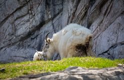 rocky mountain goat kid and mother Royalty Free Stock Image