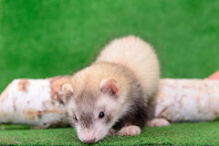 Young rodent ferret stock photos