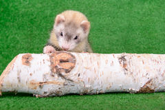Young rodent ferret. Young animal rodent ferret on a green  background Stock Photos