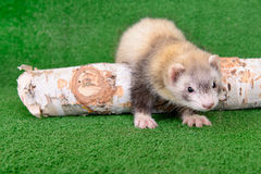 Young rodent ferret. Young animal rodent ferret on a green  background Stock Photo